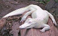 alligator decor - Alligators albino albino animals nature animals x36 inch art silk poster Wall Decor