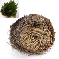 Wholesale NEWLive Resurrection Plant Rose Of Jericho Dinosaur Plant Air Fern Spike Moss