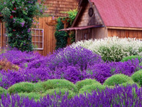 Wholesale aroma plant lavender seeds imported Frence provence fragant organic lavender seeds for home garden decoration Lavandula Hidcote blue