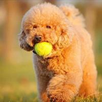 Wholesale New Pet Dog Elastic Rubber Tennis Ball Pet Sport Thrower Chucker Launcher Fun Play Toy BG XL T19