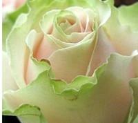 3000pcs набор светло-зеленый розовый цвет духов розы семена цветов домашнего сада DIY хороший подарок для вашего друга Пожалуйста, лелеять