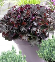 alum plant - Bonsai flower Alum root seeds Mallow flowers Indoor plant garden decoration