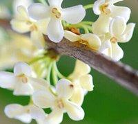 al por mayor semillas osmanthus-100pcs una semilla blanca pura del árbol de Osmanthus del color del juego DIAMANTE DIY DEL JARDÍN DEL HOGAR BUEN REGALO PARA SU AMIGO Aprecie por favor él