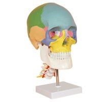 anatomical parts - Medical Anatomical Human Skull Model High Quality Classic part Life Size