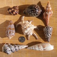 baby conch - Conch shells high grade conch shells set decoration decoration aquarium landscaping Home Furnishing platform baby gift