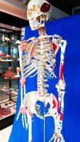 Wholesale best seller lab equipment pvc material human skeleton model with muscle marks medical products made in china