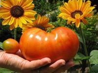 Wholesale 25 Beefsteak Tomato Seeds Juicy healthy Sweet Organic DIY Garden Plant SS056