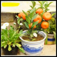 Wholesale free ship bag Balcony Patio Potted Fruit Trees Planted Seeds Kumquat Seeds Orange Seeds Tangerine Citrus