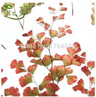 autumn fern - estive Party Supplies Decorative Flowers Wreaths Autumn red edge maidenhair fern DIY handmade material dried flower press f