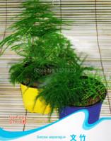 asparagus fern plant - Setose Asparagus Seeds Asparagus Fern Foliage Plants F009