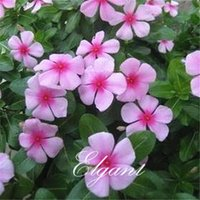 Wholesale Purple Red Madagascar Periwinkle Flower Seeds