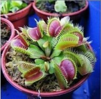 Wholesale HOT Sale Potted Insectivorous Plant Seeds Dionaea Muscipula Giant Clip Venus Flytrap Seeds