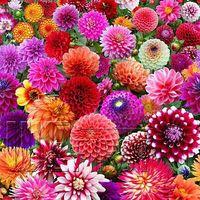 annual flower plants - 200 Beautiful Dahlia Flower Seeds Mixture Organic Flowers For Garden Planting Annual