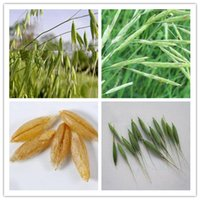 avena sativa - Family Poaceae Avena Sativa Grain Seeds Widely Adaptable Crops Common Oat Seeds Very Popular Health Food Yan Mai Seeds