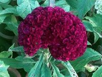 annual flower plants - Balcony plant Celosia Burgandy Cockscomb Flower Seeds Reseeding Annual garden decoration flower Z10