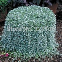 beautiful hanging baskets - 200 Dichondra Repens Silver Falls Emerald Falls Ground Cover Seeds in hanging baskets very creative beautiful potted plants