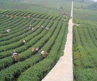 al por mayor las ventas de alimentos orgánicos-EN LA VENTA * Té del alimento del cantón Té orgánico chino del té flojo Promoción del té negro roto Naranja Pekoe conveniente para el té de la leche