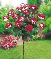 best pot seeds - Red And Write Rose Flower Seeds Seeds Per Package Balcony Potted Barrier Flowers Garden Plants Spring Best Selling