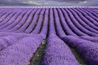 Wholesale French Provence Lavender Seeds Potted Plant Seeds Very Fragrant Particles