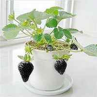 Wholesale Hot Sale Top New Arrival Super Delicious Black Strawberry Seeds High Quality