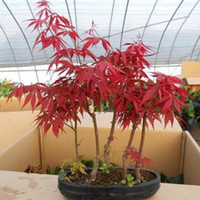Wholesale 10 Mini Beautiful Japanese Red Maple Bonsai Seeds DIY Bonsai FRESH MAPLE SEEDS
