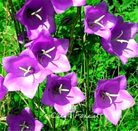 balloon flower seeds - Balloon Flower Seeds Platycodon Grandiflorus Perennial Flower for planting Easy to grow