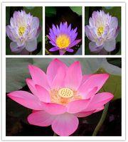 aquatic plants lotus - Promotion Lotus seeds bonsai lotus flower seeds plants water lily lotus seed Aquatic plants How to Plant hom