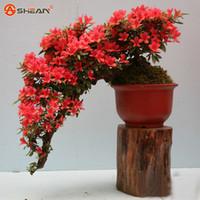 azalea gardening - Red Azalea Flowers Seeds Varieties Complete Bonsai Flowers DIY Home Garden Particles