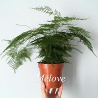 asparagus garden - Asparagus Fern Seeds Plumosa Lace Fern Excellent for DIY Home Garden Bonsai