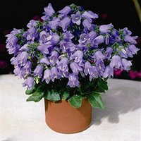 bellflower flower - 30 Garden Plant Bellflower Campanula Medium L Flower Seeds