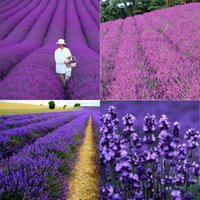 Wholesale Potted Flowers Provence Lavender Lavender Flower Seed Canary Seed Lavender Seeds Herb Garden Seed Per HY00864