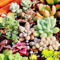 Wholesale 150pcs Mixed Succulent Seeds Lithops Rare Living Stones Plants Cactus Home Plant