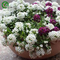 alyssum plant - Sweet Alyssum Seeds Flower Seeds Bonsai Plant for Home Garden Particles H022