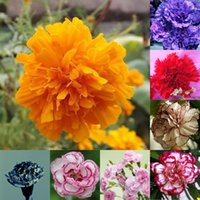 Wholesale Shipping Enfant de Nice Carnation Seed Blending Potted Plants Flower Seeds Flower Seeds Four Seasons Easy To plant Perennial HY1176