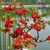 begonia seed - Hot selling Red Begonia Flower Seeds True Malus Spectabilis Seeds Potted Begonia Bonsai Tree Seeds DIY Home Garden
