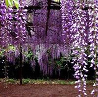 Wholesale Purple Chinese Wisteria Vine seed Garden potted Flower Seed Pot Flower Plant Garden Bonsai Flower Seed Diy Home Plant
