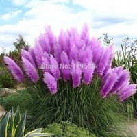 Wholesale Beautiful Flowers seed Rare Purple Pampas Grass Garden plant Flowers Cortaderia Selloana Flower seeds