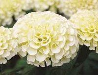american eskimo - 35 seeds pack AMERICAN MARIGOLD ESKIMO WHITE ANNUAL FLOWER SEEDS