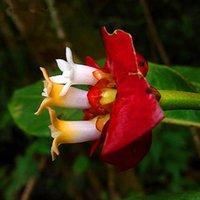 Wholesale 2016 Best Selling Seeds A Pack Red Lips Flower Seeds Rare Flower Pots Psychotria Elata Flower Seeds