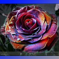 Wholesale Rare Fire Phoenix Rose Tree Flower Seeds Professional Pack Seeds Pack Great Bonsai Flower NF871