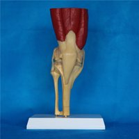Wholesale good price pvc material human knee joint muscle anatomy model medical teaching lab equipment device factory