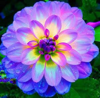 Wholesale 25 bag dahlia dahlia flower Mixed Colors Dahlias Seeds For DIY Home Garden