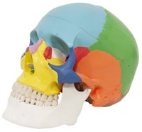 anatomical parts - Medical Anatomical multicolor Human Skull Model High Quality Classic part Life Size