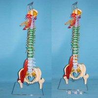 Wholesale factory customized medical teaching model equipment pvc material human vertebra anatomy model with good price