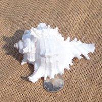 aquarium snail - Conch shells Murex snail above cm platform kylin aquarium aquarium wedding gifts