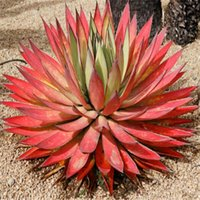 Wholesale 100 Seeds Red Agave seeds Red Malagasy plant Seeds Not Agave