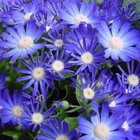 Wholesale Popular Ice Plant Seeds Pieces Per Package Multi Colored Beautiful Seeds Two weeks to your Home
