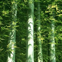 Wholesale Huge seeds Giant Phyllostachys pubescens moso bamboo seeds hardy Giant