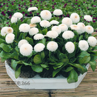 Wholesale Double Hardy Daisy White Daisy Flower Seeds pack