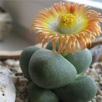 Wholesale 150pcs Mixed Succulent Seeds Lithops Rare Living Stones Plants Cactus